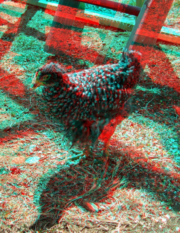 Use the red-cyan 3D (anaglyph) glasses to view. Barred Rock chick at 6 weeks.