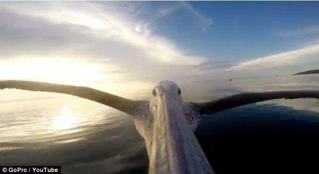 big_bird_pelican (5)