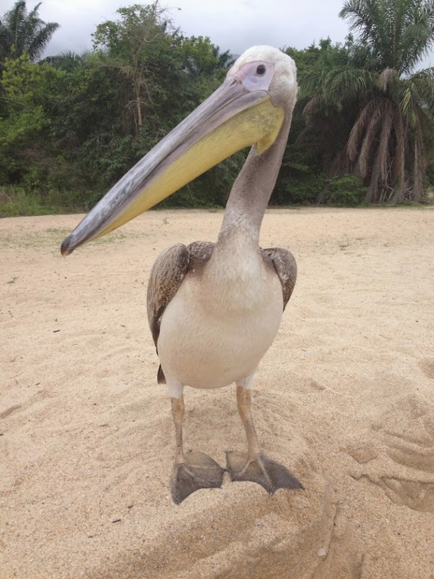 big_bird_pelican (8)