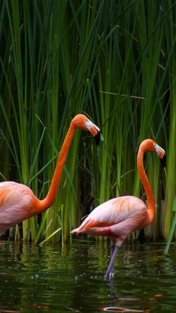 HD samsung wallpapers flamingo
