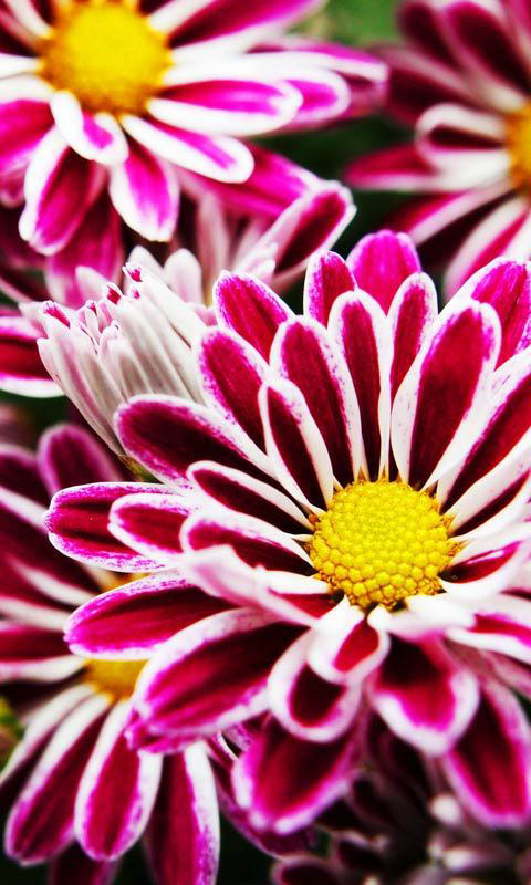 HD Phone Wallpapers flowers