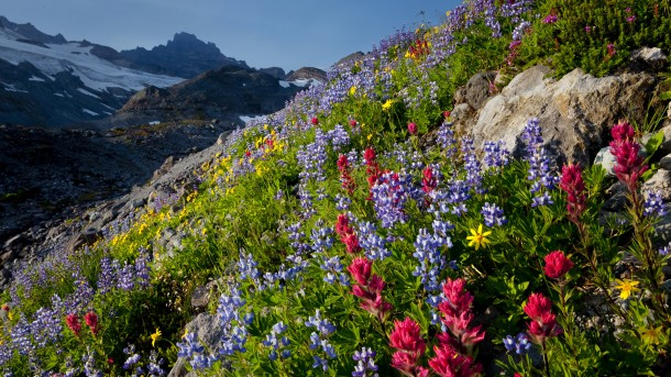Field of wildflowers, Paradise Valley, Mt. Rainier National Park, Washington