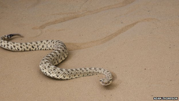 Snake Robot Learns a Trick from Sidewinder Rattlesnake2