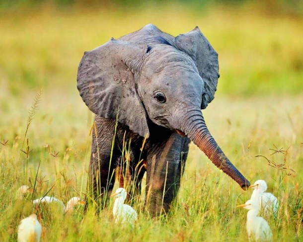 baby elephant,cute baby elephant,baby animals,most adorable baby animals