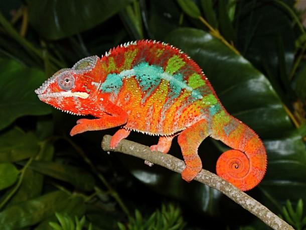 How Chameleons Change Color 2