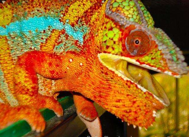 How Chameleons Change Color 4