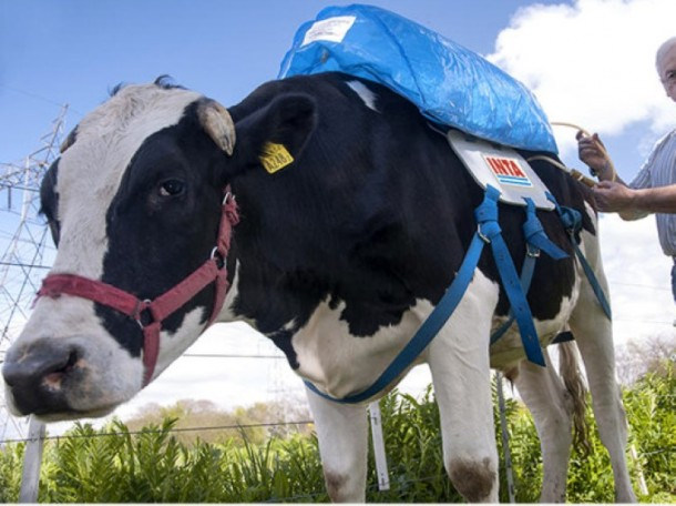 cow methane backpack2
