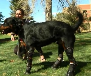 Dog Receives Four Prosthetic Paws 3