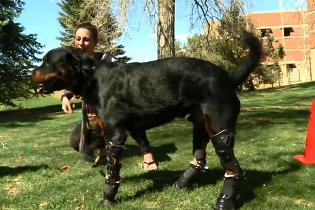 Dog Receives 4 Prosthetic Paws After He Lost Them In An Accident