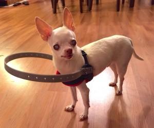 blind dog device