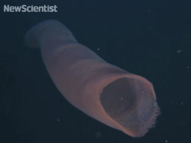 pyrosomes the strangest sea giants you have ever seen11