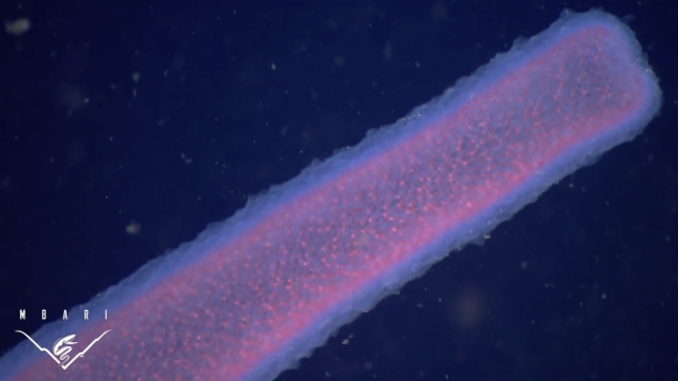 pyrosomes the strangest sea giants you have ever seen3