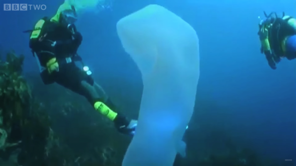pyrosomes the strangest sea giants you have ever seen5
