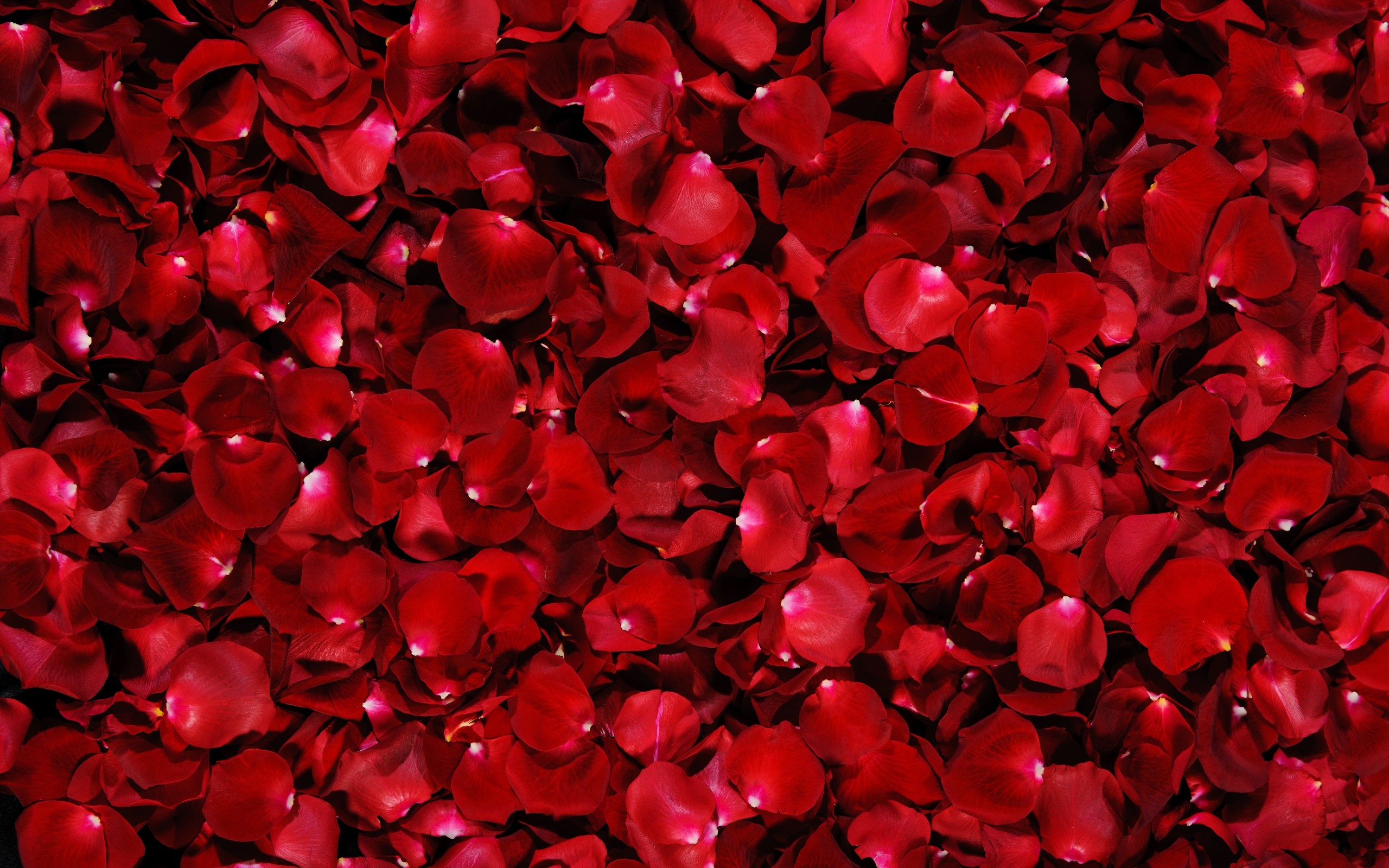 74 Rose Wallpaper For Hd Download HD Wallpapers Download Free Images Wallpaper [1000image.com]