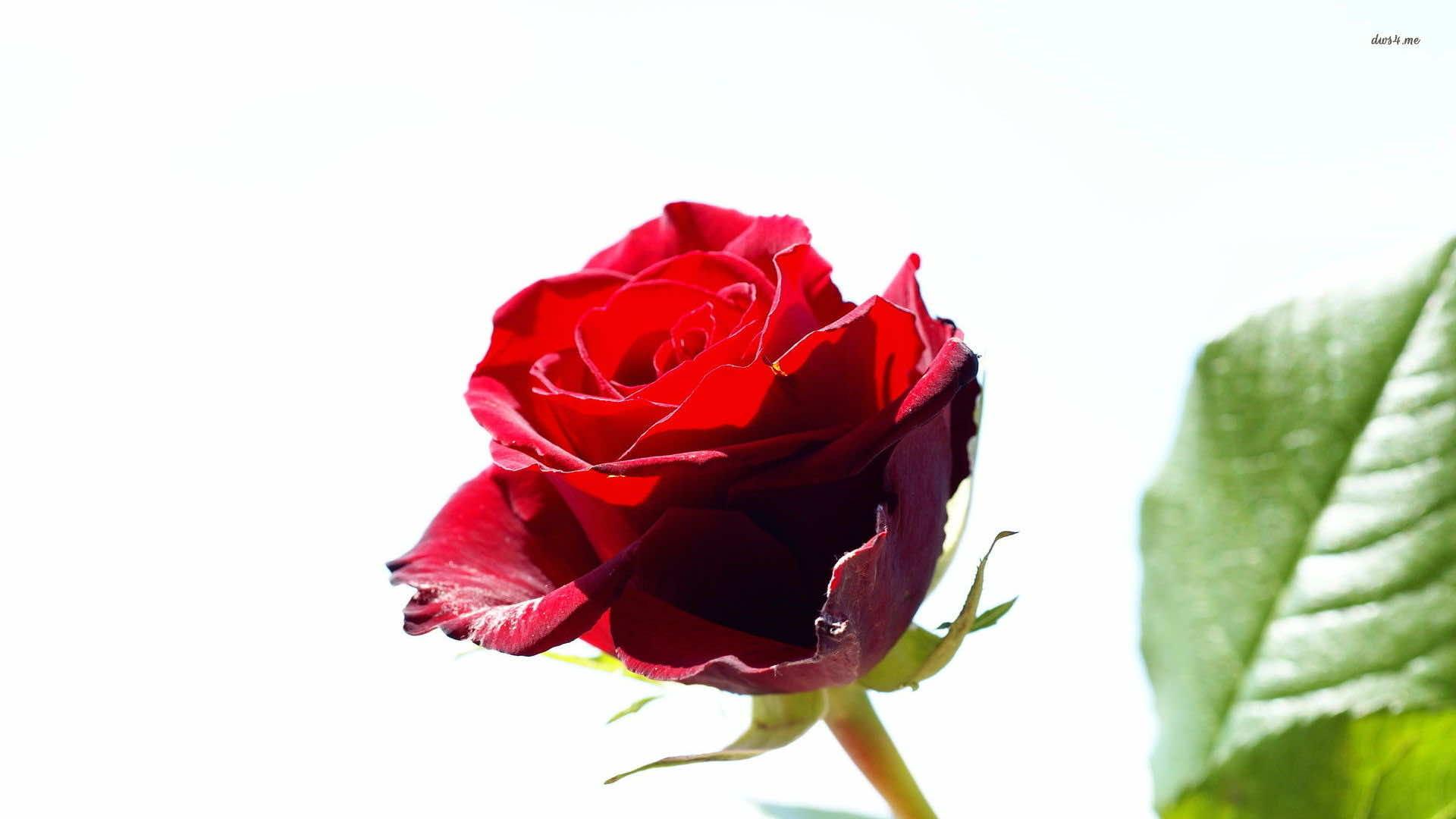 74 Rose Wallpaper For HD Download