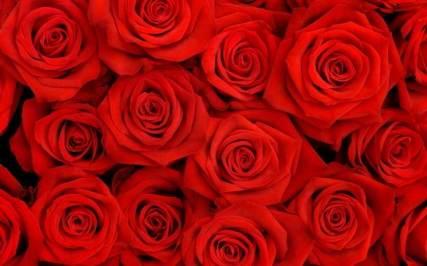Rose Wallpaper rose6