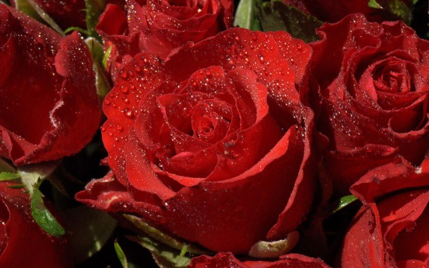 Rose Wallpaper rose10