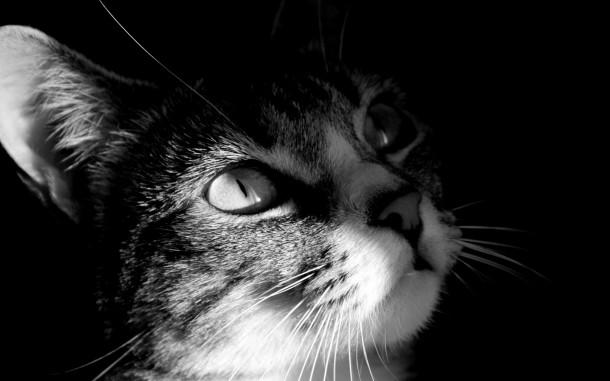 darkcat