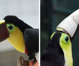 3D Printing is Saving the Lives of Hundreds of Animals_ 3D Printed Prosthetic Beak for the Costa Rican Toucan_Image 2_Wonderful Engineering