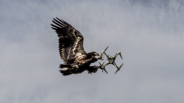 Drone Fighting Eagles Take Down The UAVs In Midflight_Image 2