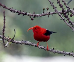 Genetic Engineering to Rescue Hawaii Birds_Image 1