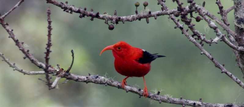 Genetic Engineering to Rescue Hawaii Birds_Image 1