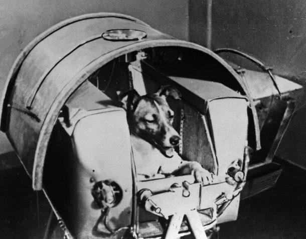 Laika, Russian cosmonaut dog, 1957. Laika was the first animal to orbit the Earth, travelling on board the Sputnik 2 spacraft launched on 3 November 1957. The Soviet space programme used dogs and other animals in order to ascertain the viability of later (Photo by Fine Art Images/Heritage Images/Getty Images)