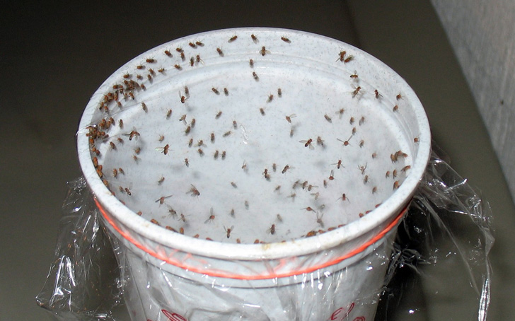 Fruit-Fly-Cup-Trap