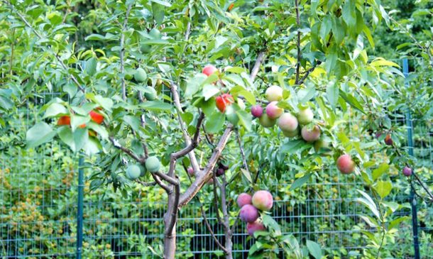 This Amazing Fairytale Tree Can Grow 40 Different Kinds Of Fruit_Image 1