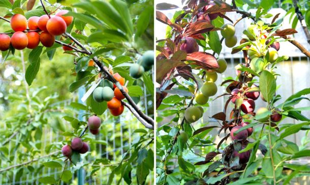 This Amazing Fairytale Tree Can Grow 40 Different Kinds Of Fruit_Image 3