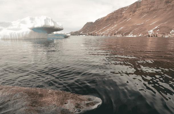 Greenland shark in Disko Bay, western Greenland. Image: Julius Nielsen