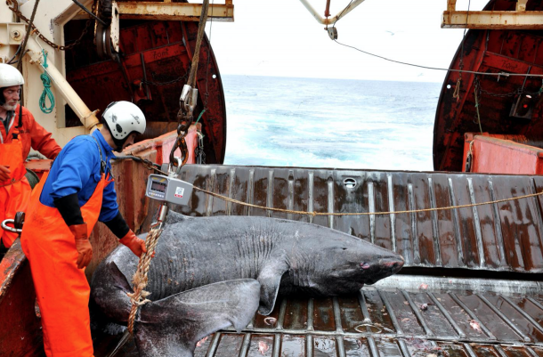 A Greenland shark caught as bycatch from research vessel Pâmiut in southwest Greenland. Credits: Julius Nielsen