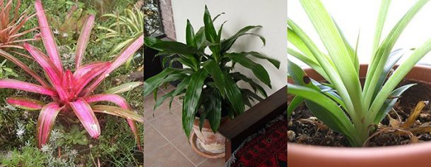 Healthy houseplants (L to R): the bromeliad, the dracaena and the spider plant