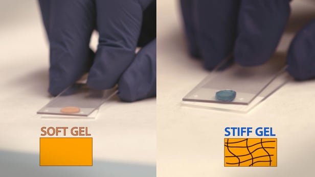 Researchers have developed a stiff, long lasting gel that could be used to protect heart tissue after a heart attack (Credits: American Chemical Society)