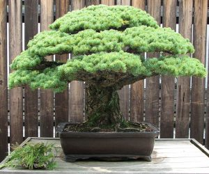 japanese-white-pine-bonsai-masaru-yamaki-us-bicentennial-2