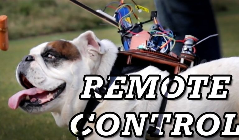 Guy Creates A Working Remote Control For His Bulldog. Here Is How It Works