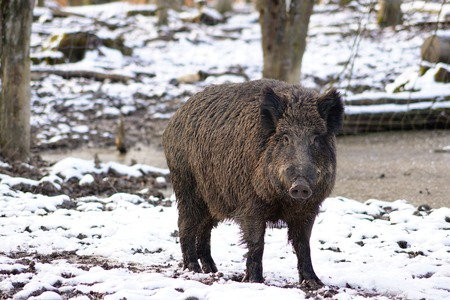 radioactive boars