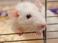 diabetes cured in mice