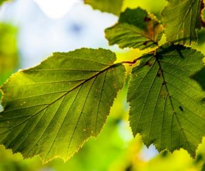 Artificial Leaf Design By Researchers Is More Efficient Than Actual Leaf!