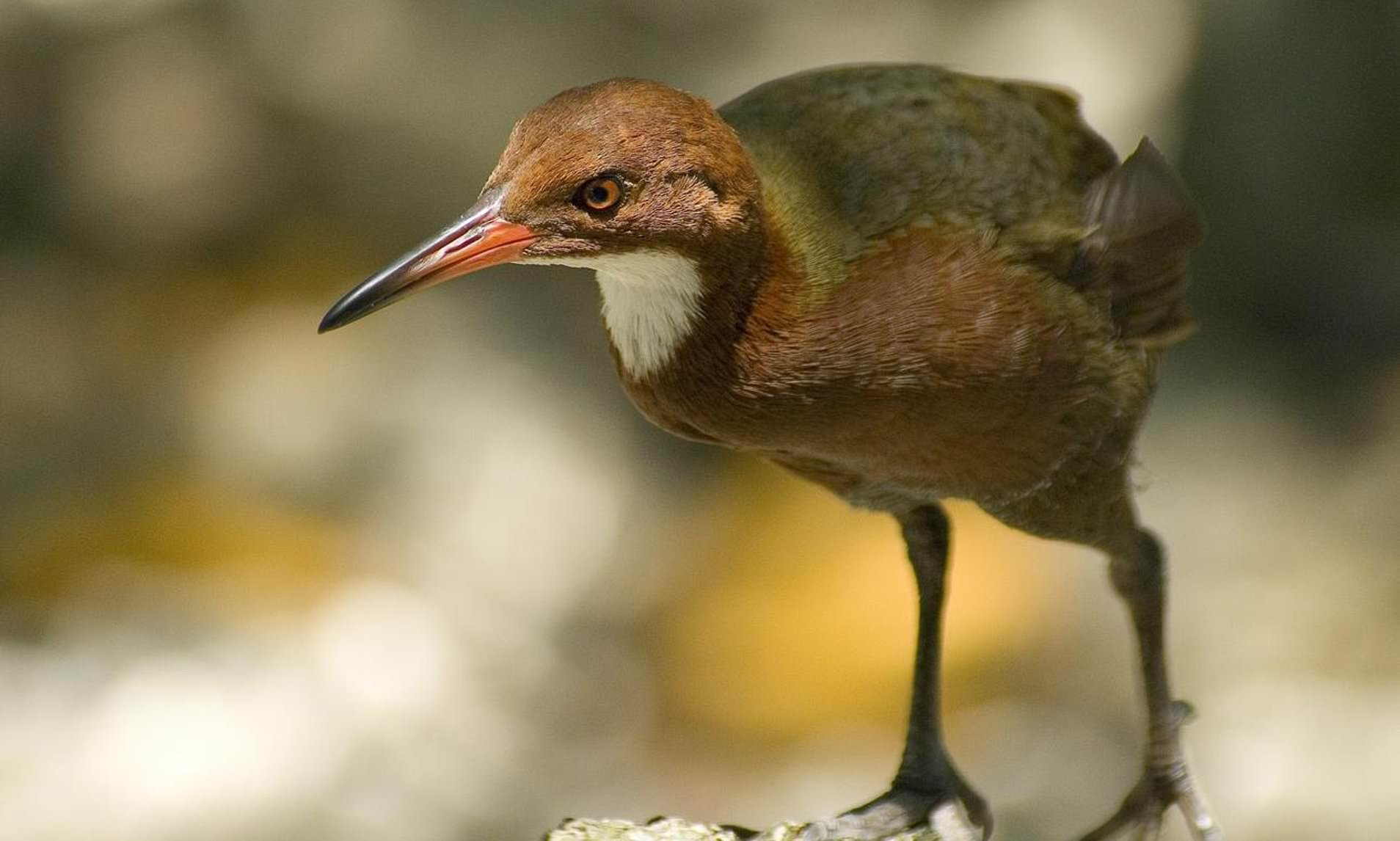 White-Throated Rail That Had Gone Extinct Returns After 136,000 Years