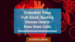 Scientists Have Created A Beating Heart Using Stem Cells