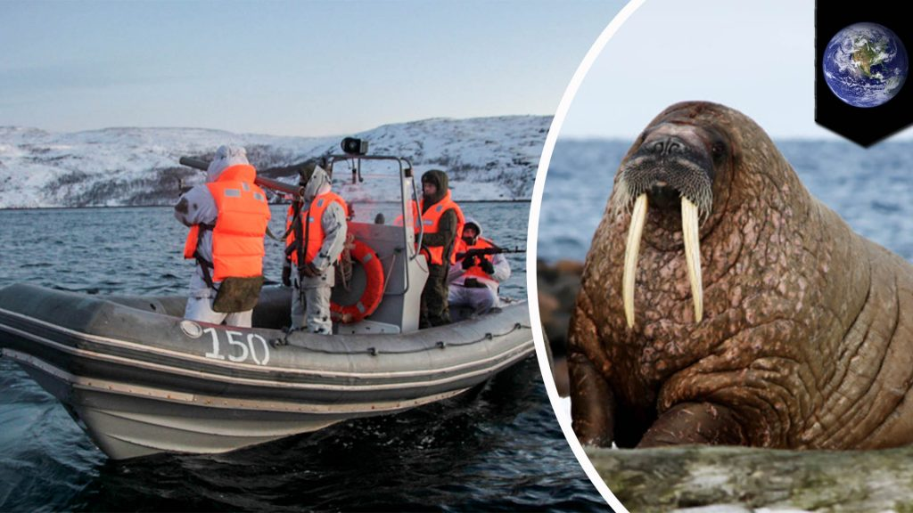 A Walrus Sank A Russian Navy Vessel When It Got Too Close To Its Cub