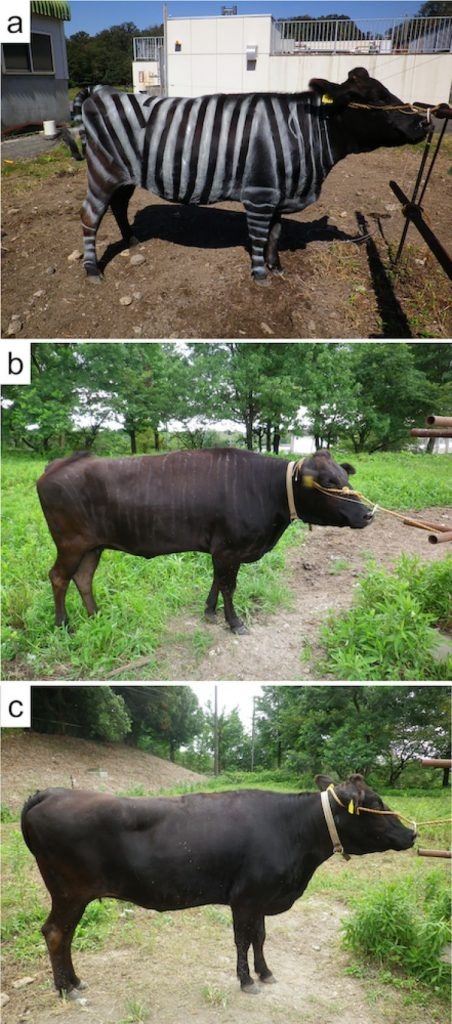 Scientists Painted Cows Like Zebras To Confuse Flies & It Worked