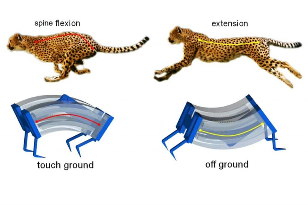 Soft-Bodied Robot LEAP Is Inspired From Cheetah