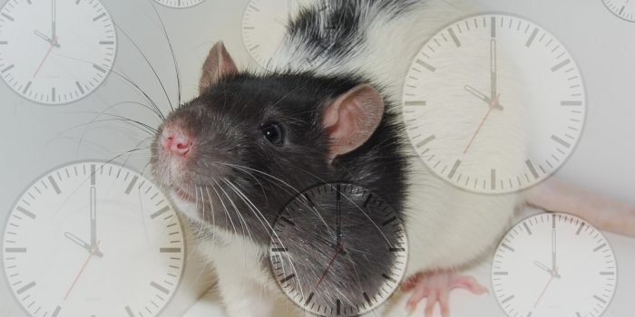 Scientists Reverse Aged Old Rats Using Young Rat Blood Plasma